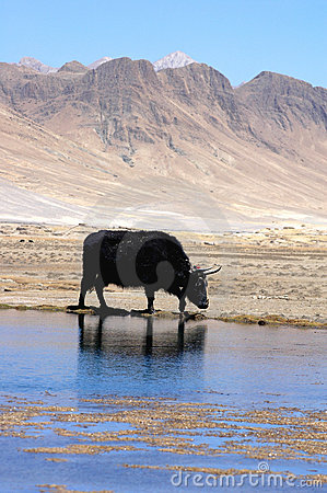Yak at waters