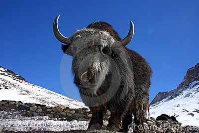 Yak in winter himalayas