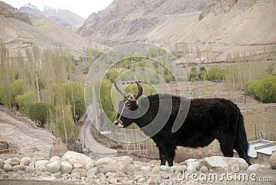 Yaks, Basgo, Ladakh, Inde