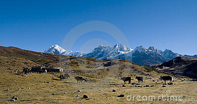 Yaks graze on alpine pastures