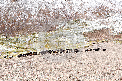 Yaks graze in the mountains