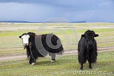 Yaks on Mongolian Steppes