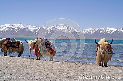 Yaks in Tibet