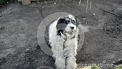 Yard Il cane siede su una catena vicino alla cabina e alle cortecce Il cane vuole mangiare, sdraiato accanto a una ciotola vuota  stock footage
