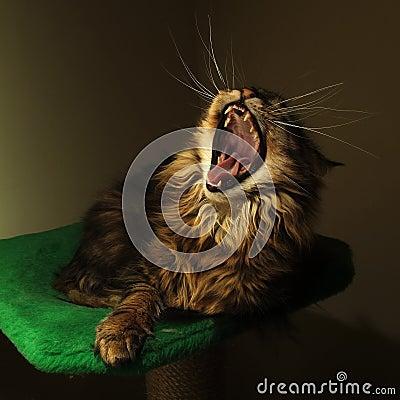 Yawn cat