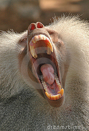 Free Yawning Baboon Stock Image - 1072081