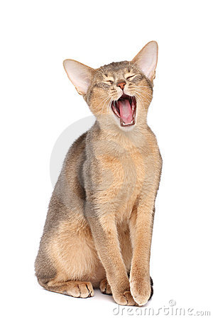 Free Yawning Cat Royalty Free Stock Images - 11531209