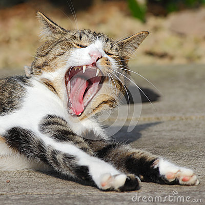 Yawning cat teeth
