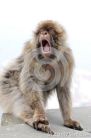 Yawning gibraltar ape Stock Photo