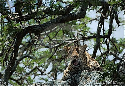 Yawning leopard on a tree