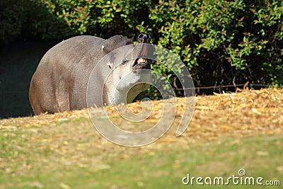Yawning lowland tapir