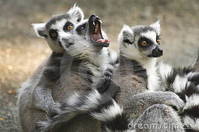 Yawning Ring-tailed Lemur with group