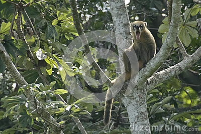 Yawning, Scratching Coatimundi in a tree