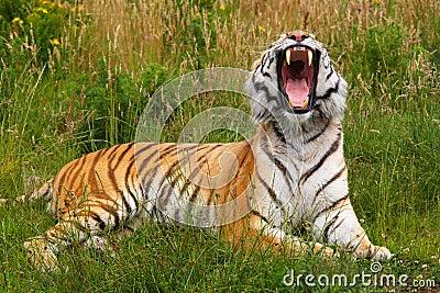 Yawning Siberian tiger