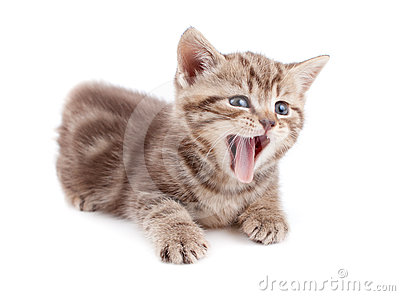 Yawning striped Scottish kitten lying