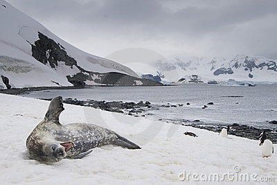 Yawning Weddell Seal with Penguins, Antarctica