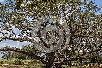1000 Year old Big Tree