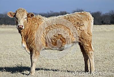 Yearling Heifer
