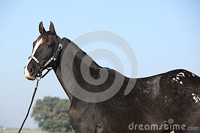 Yegua negra del appaloosa con el halter occidental