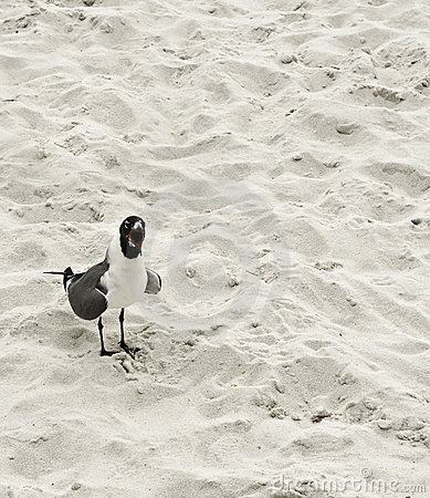 Yelling seagull