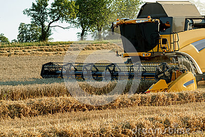 Yellov combine on field harvesting gold wheat