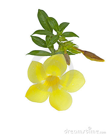 Yellow Allamanda Cathartic flower