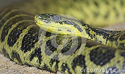 Yellow Anaconda 1