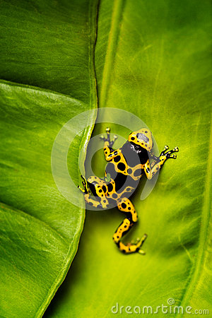 Free Yellow And Black Poison Dart Frog On Leaf Stock Photography - 71295992