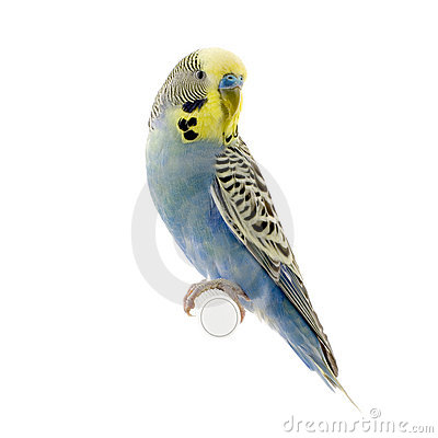 Free Yellow And Blue Budgie Stock Photos - 2332403