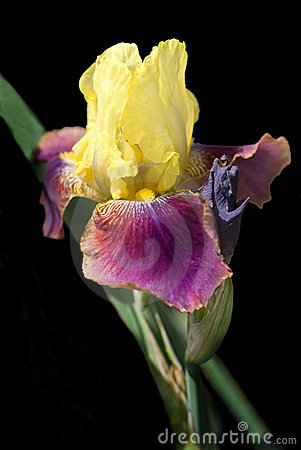 Free Yellow And Fuschia Bearded Iris On Black Stock Photography - 9719842