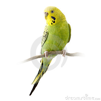 Free Yellow And Green Budgie Stock Photos - 2332273