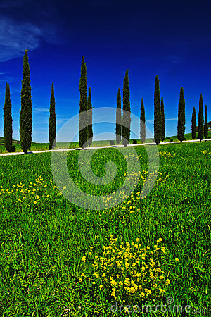 Free Yellow And Green Flower Field With Clear Dark Blue Sky, Tuscany, Italy. Yellow Meadow With Flower. Yellow Bloom With Cypress Tree Royalty Free Stock Photo - 75943735