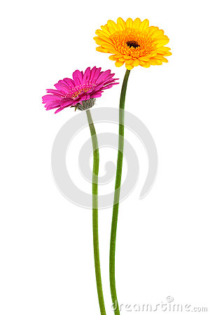 Free Yellow And Pink Gerber Stock Image - 86392331