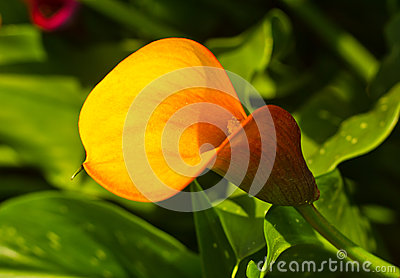 Yellow anthurium