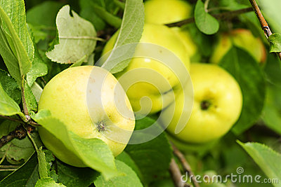 Yellow apples in tree