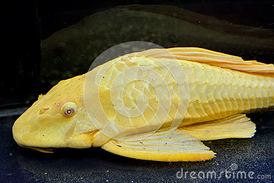 A yellow aquarium fish