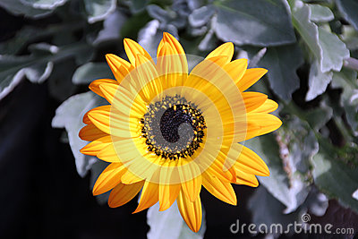 Yellow Arctotis Daisy Flower