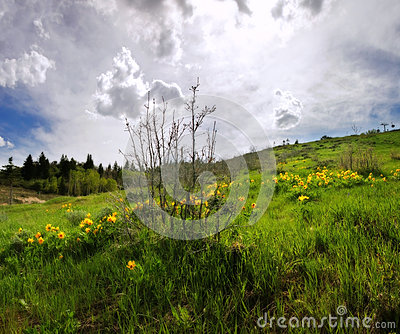Yellow Arrowleaf Balsamroot wildflowers in Rocky Mountain spring