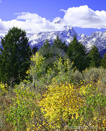 Yellow Aspen Trees in front of Mountains