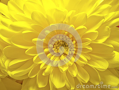 yellow aster flower royalty free stock photos  image, Beautiful flower