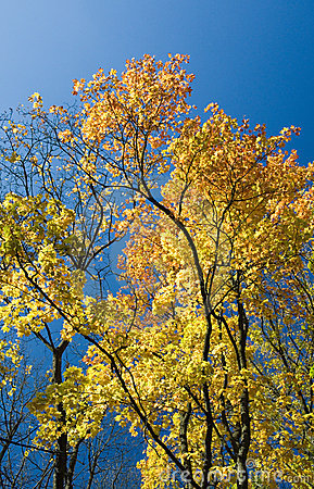 Yellow autumn leaves and blue sky