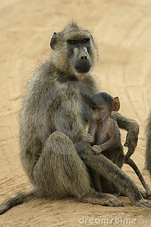 Free Yellow Baboon Mother And Infant Stock Photography - 648392