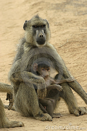 Free Yellow Baboon Mother And Infant Stock Images - 648394