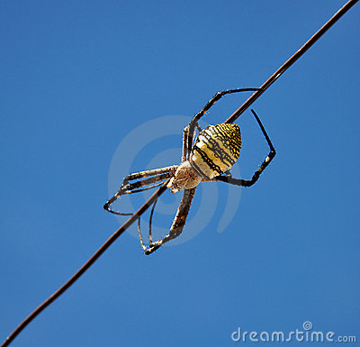 Yellow back spider