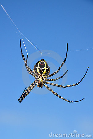 Free Yellow Back Spider Stock Images - 20832904