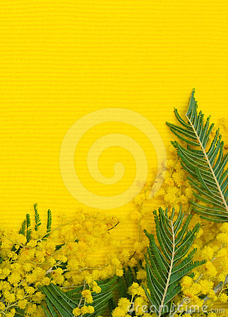 Yellow background with branch of mimosa