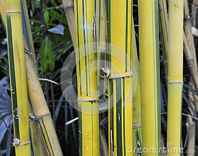 Yellow bamboo groves
