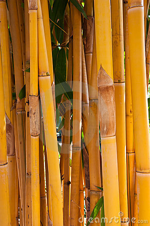 Yellow bamboo tree