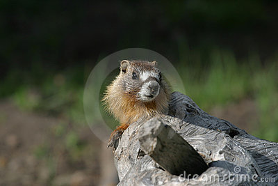 Yellow-bellied Marmot Stock Photo - Image: 17595860