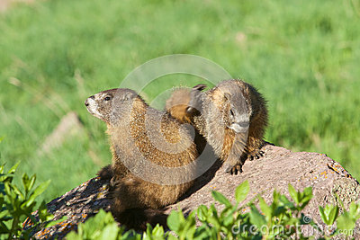 Yellow-bellied Marmots Interacting